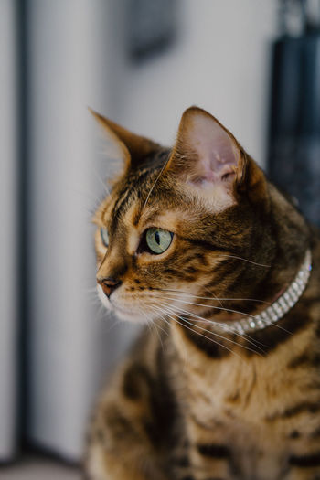 Cat Domestic Cat Feline Pets Domestic Animals Mammal Domestic Animal Themes Animal One Animal Looking Vertebrate Whisker Close-up No People Indoors  Selective Focus Animal Body Part Animal Head  Tabby Animal Eye Tiger Cat Prey Ready-to-eat Ready