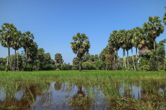Clear Sky Rice Paddy Songkhla Thailand Irrigation Equipment Palm Tree Landscape Green Color Outdoors Sky No People Day Tranquility Water Reflection Scenics Flood Sugar Palm Rice Field Beauty In Nature Nature Tree