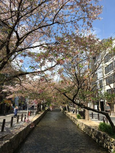 Cherry Trees Clear Sky Day Fallen Petals Growth New Leaves Growing Springtime Takase River In Kyoto