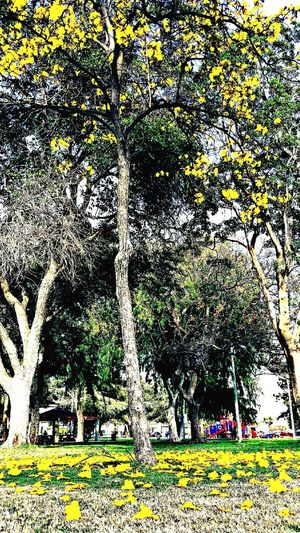 Trees besudes the trees. Tall Trees Fallen Flowers Peaceful Peaceful Serenity Nature Beauty MyPhotography LoveMyWork Outside Covina Photography Beautiful Mywork Park
