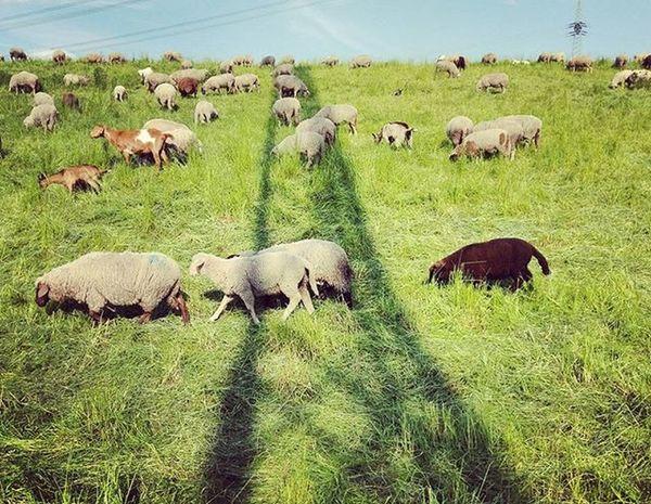 Beautiful country life in Munich. Schafe 🐑 Ziegen 🐐 Sheeps Goats München Munich