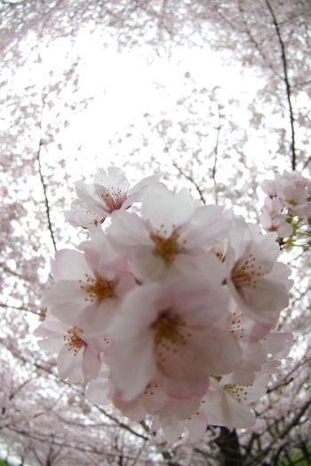 Flower 桜 春 Cherry Tree Cherry Blossom Pentax K-3 Springtime