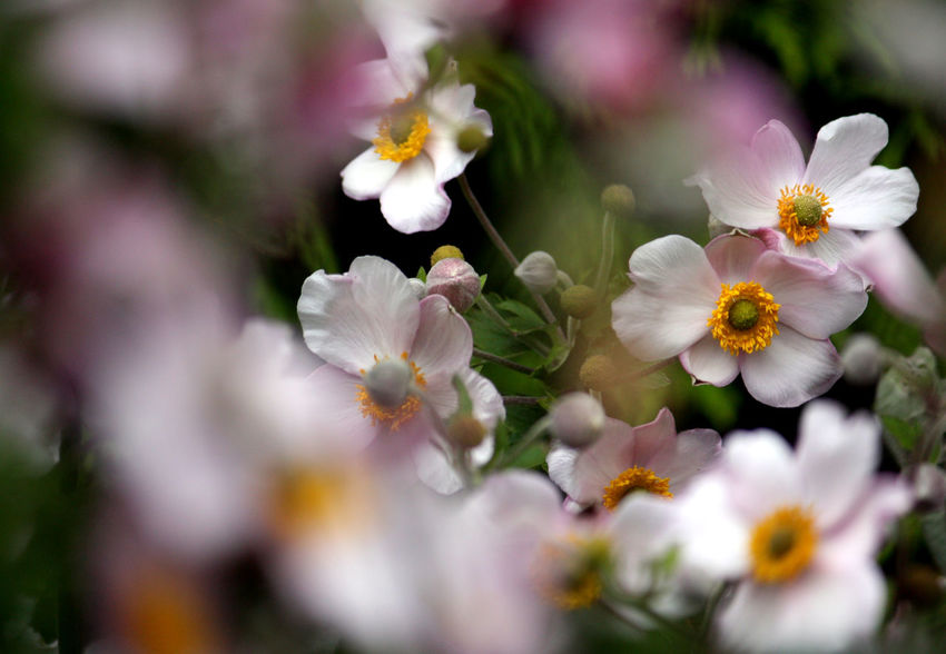 Japanese Anemone Beauty In Nature Blooming Close-up Flower Flower Head Fragility Freshness Outdoors Petal Selective Focus White Color Blossom Botany In Bloom