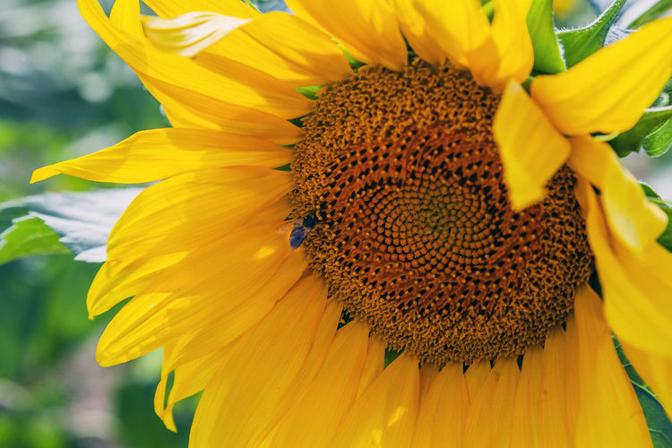 Flowering Plant Flower Petal Vulnerability  Flower Head Fragility Beauty In Nature Freshness Inflorescence Growth Plant Pollen Insect Yellow Invertebrate Close-up Animal Themes Animals In The Wild Animal Wildlife One Animal Sunflower Pollination No People