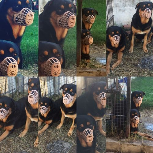 My Dogs Are Cooler Than Your Kids our first time with this thing on our mouths! Mini &Thor 💕 learning who s in charge Animal Themes Argentina Rottweiler Discipline and love