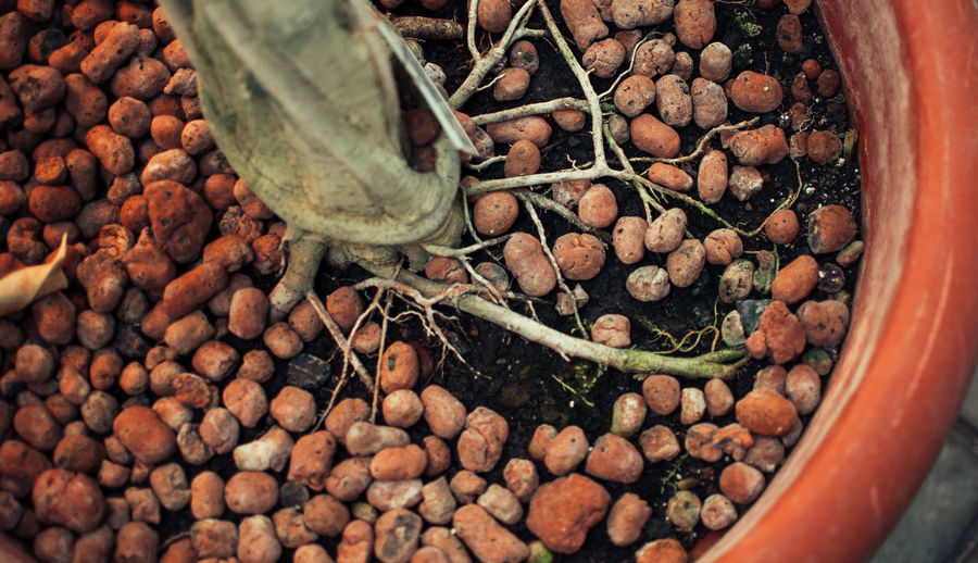 Home-grown plant with well-grown roots in expanded clay granules grown in passive hemihydroponics.