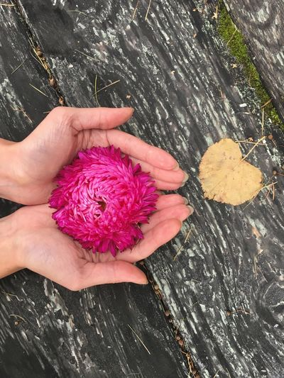 High angle view of hand holding pink flower petals on wood