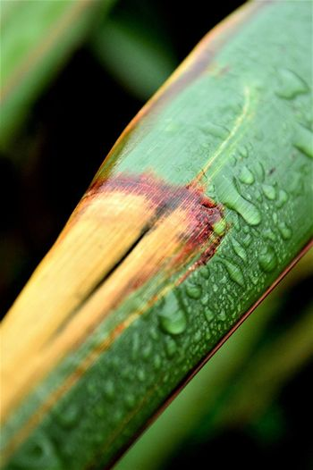 Animal Themes Animals In The Wild Beauty In Nature Close-up Day Fragility Green Color Insect Nature New Zealand Flax No People One Animal Outdoors Plant Rain Drop On Leaf Rain Drops