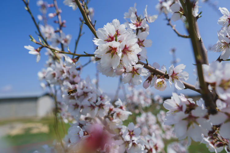 Flowering Plant Flower Plant Fragility Vulnerability  Freshness Growth Beauty In Nature Blossom Tree Springtime Branch Nature Petal Cherry Blossom Close-up Day Fruit Tree No People Twig Pollen Flower Head Outdoors Cherry Tree Spring
