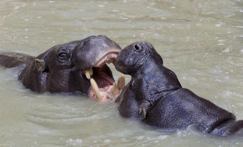 Close-up of hippopotamus fighting in pool