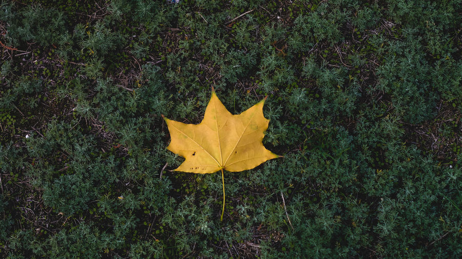 Close-up of yellow maple leaf