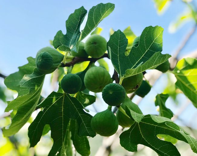 figs and leaves on a branch Figs And Leaves Leaf Growth Plant Plant Part Green Color Freshness No People Healthy Eating Fruit Food Tree