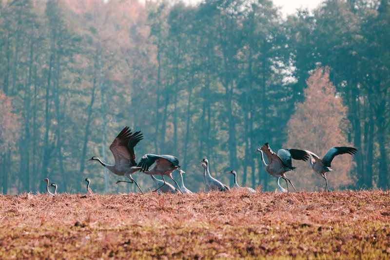 Group of common cranes grus grus fly away.