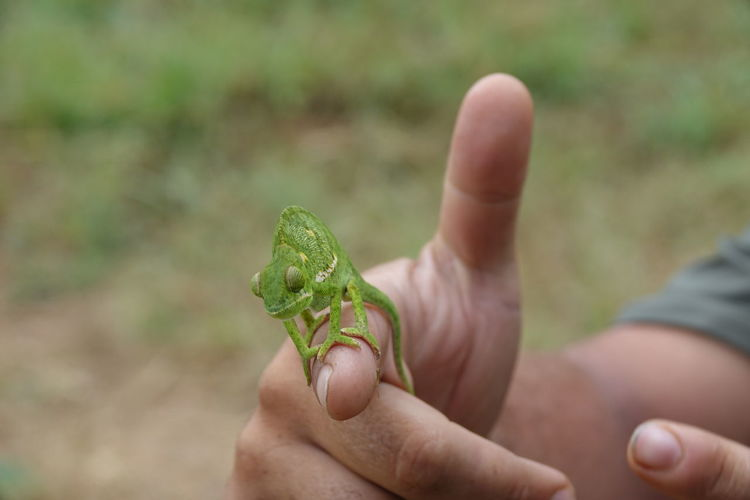 Close-Up Of Chameleon On Hand