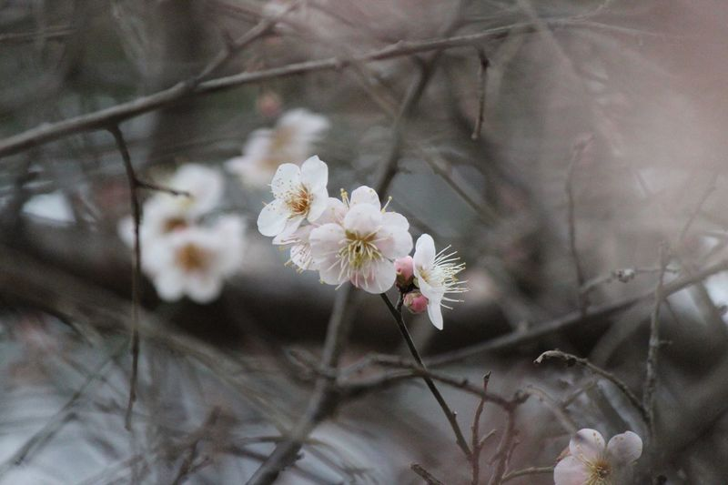Japanese Plum Blossom Ume Blossom Flower Flowering Plant Plant Freshness Beauty In Nature Fragility Growth Vulnerability  Nature Close-up White Color Tree Branch Twig Flower Head No People Blossom Petal