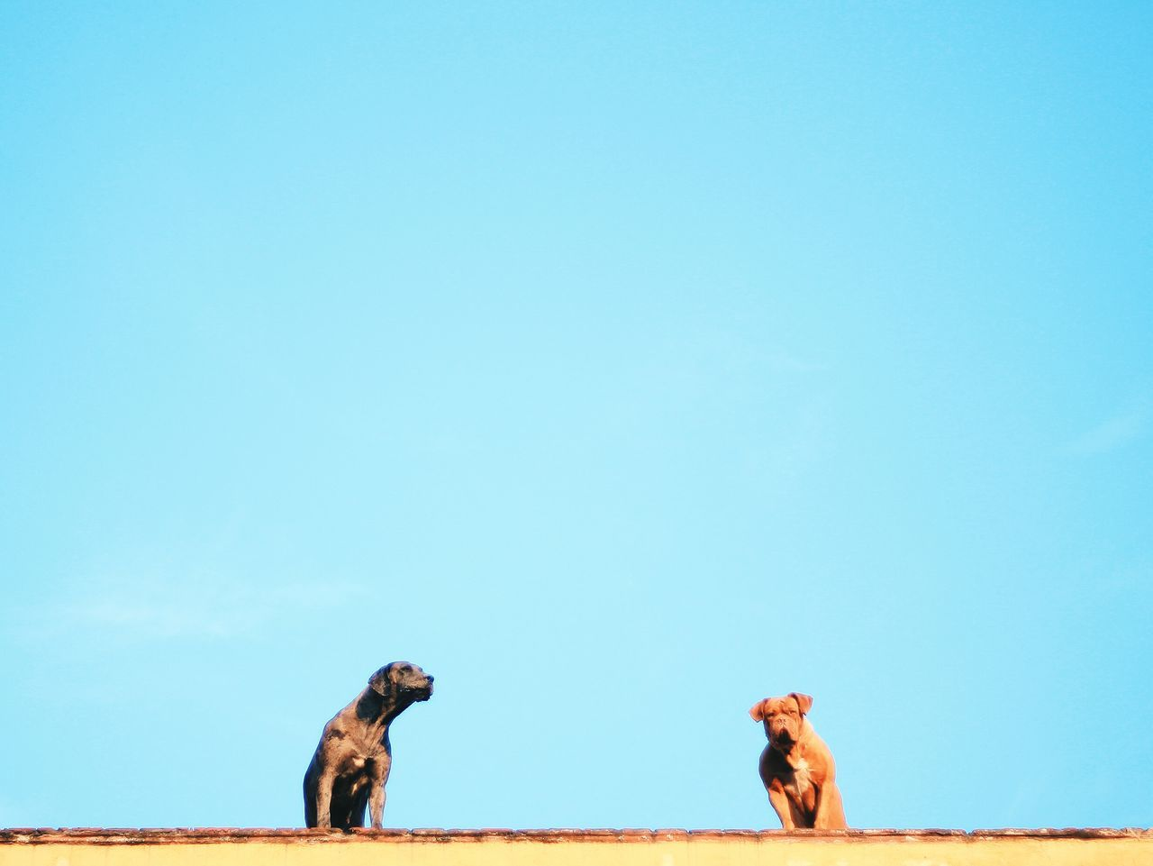 Low angle view of dogs sitting on wall against clear blue sky