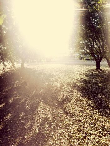 Summer Sunlight Sunbeam Nature Outdoors Shadow Tree Standing Day Beauty In Nature Almond Harvest Sky Nature Green Color Low Angle View Beauty In Nature First Eyeem Photo Branch Lens Flare One Person Real People People Adult EyeEmNewHere