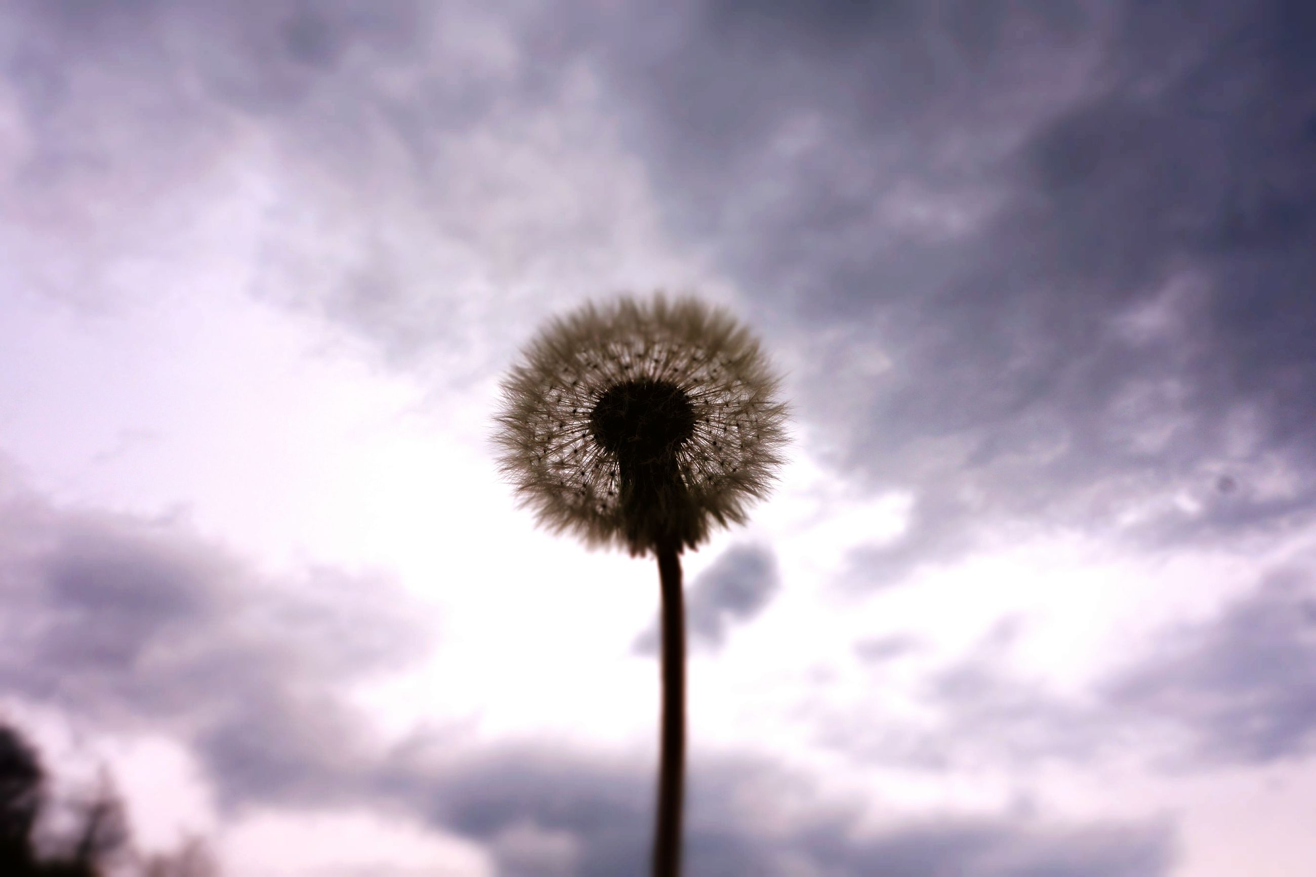 nature, sky, fragility, flower, low angle view, beauty in nature, cloud - sky, growth, flower head, no people, outdoors, thistle, seed, freshness, close-up, dandelion seed, day