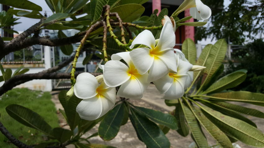 Beauty In Nature Blooming Branch Close-up Day Flower Flower Head Fragility Frangipani Freshness Growth Leaf Nature No People Outdoors Petal Plant Tree White Color