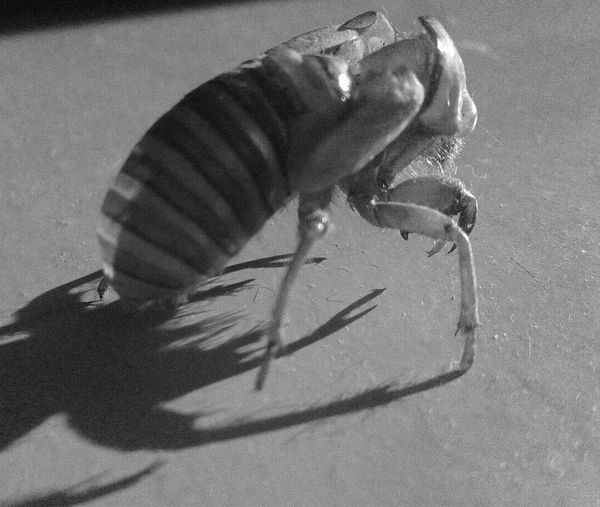 Monster ^^ Insect Photography Cigales Noir Et Blanc High Angle View Close-up Animal Themes Indoors
