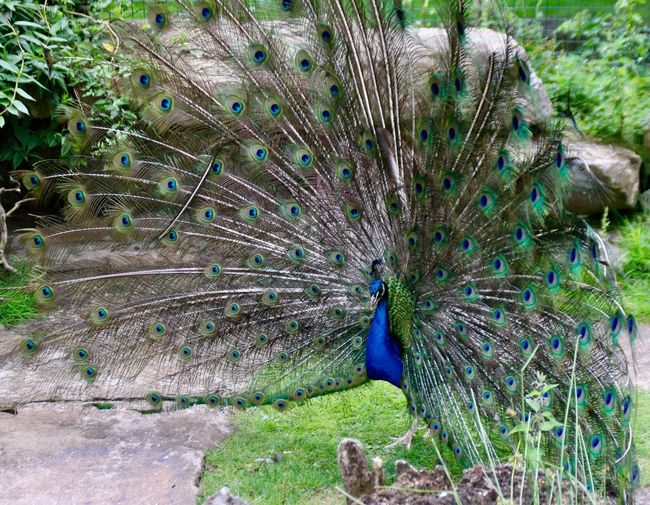 Peacock Peacock Feather Fanned Out One Animal Feather  Bird Animal Themes Animal Wildlife Animals In The Wild Field Nature Outdoors Blue Close-up Day No People Multi Colored Vanity