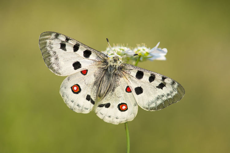 Apollo butterfly with spread wings on a flower on agreen background Animal Animal Themes Animal Wildlife Animal Wing Animals In The Wild Apollo Apollo Butterfly Beauty In Nature Butterfly Butterfly - Insect Close-up Flower Insect Nature Parnassius Apollo