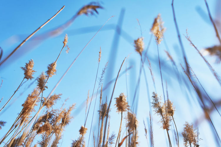 Background of a reeds on the lake below a blue sky