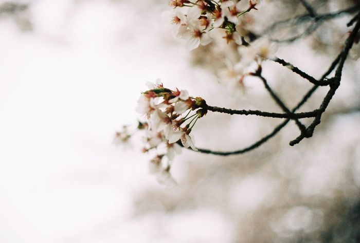 Here, finally. First Eyeem Photo Cherry Blossoms Koyto Blossom First Eyeem Photo