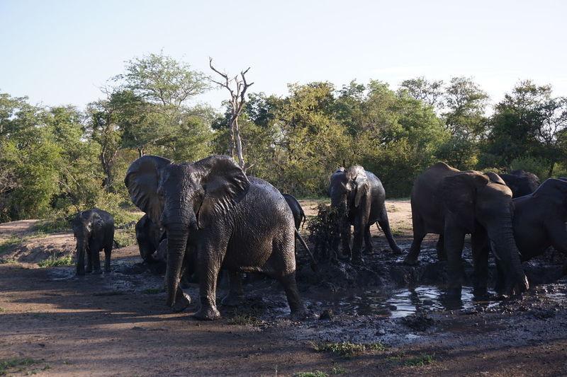Mudbath South Africa EyeEm Selects Timbavati Game Reserve African Elephant Elephant Safari Animals
