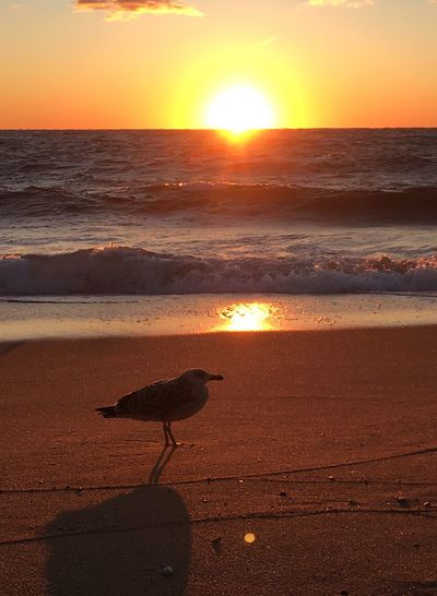 May I have some food please Sunset Sea Sun Nature Sunlight Beauty In Nature Beach Orange Color Water Silhouette One Animal Bird Lens Flare Horizon Over Water Animals In The Wild Reflection Outdoors Animal Themes No People
