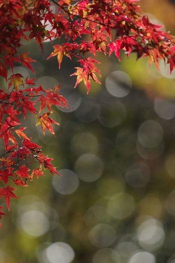 寂光院 犬山 もみじ寺 紅葉 紅葉🍁 Jakkoin Autumn Leaves Autumn🍁🍁🍁 Beauty In Nature Nature Nature Collection Nature Photography 玉ボケ 玉ボケ部