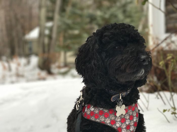 Close-up of black dog standing on snow covered field