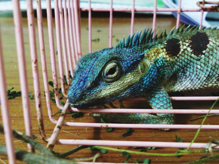 One Animal Animal Themes Animal Wildlife Cage Animals In The Wild Reptile No People Day Nature Outdoors Close-up Peacock Iguana