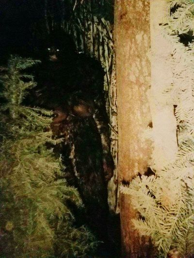 Bigfoot Sighting Trail Cam Oregon State Wilderness Monster Sasquatch Nature Close-up Outdoors Shadow Bigfoot