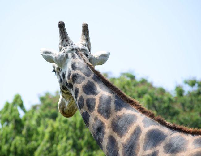 Animal Themes Animal Wildlife Animals In The Wild Close-up Day Giraffe Low Angle View Mammal Nature No People One Animal Outdoors Portrait Safari Animals Sky Tree