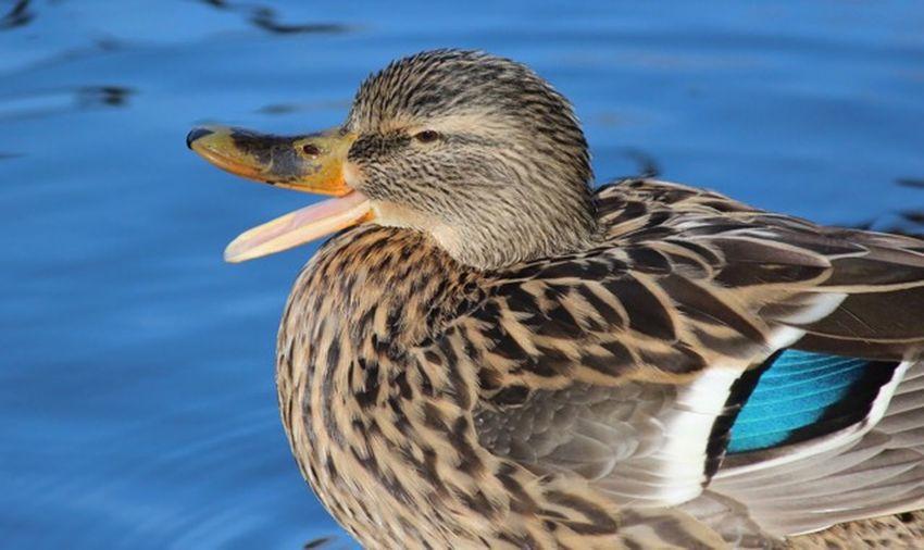Duck Animal Themes Animal Wildlife Animal One Animal Animals In The Wild Bird Vertebrate