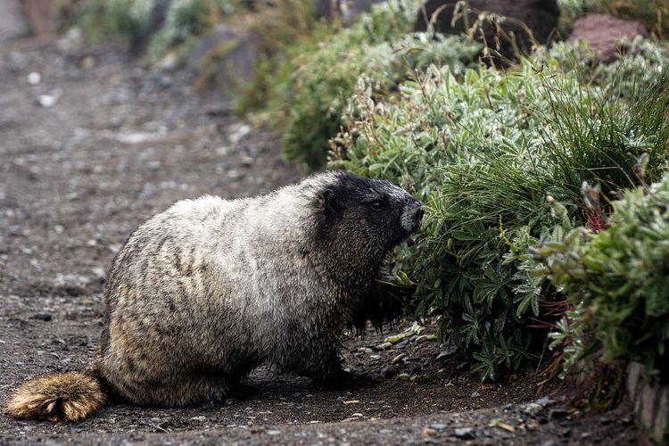 Marmot Animal Themes One Animal Mammal Side View Zoology Day Outdoors Nature No People Animal Cascadiaexplored PNWonderland MountRainier PNW