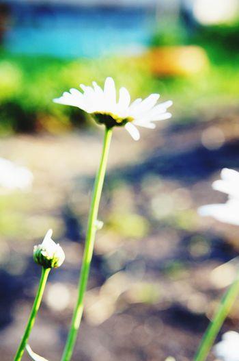 Ромашки цветы лето Photo Phone природа и красота Likeforlike учусьфотать Природа Flowers Photography