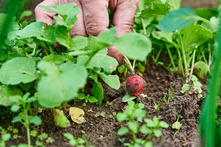 Midsection of person holding vegetables in garden
