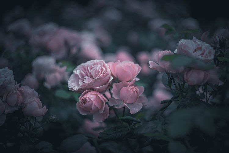 Roses 🌹 Flower Flowering Plant Plant Freshness Petal Vulnerability  Beauty In Nature Fragility Growth Close-up Pink Color Flower Head Inflorescence Nature Focus On Foreground No People Rosé Outdoors EyeEm Nature Lover EyeEm Best Shots