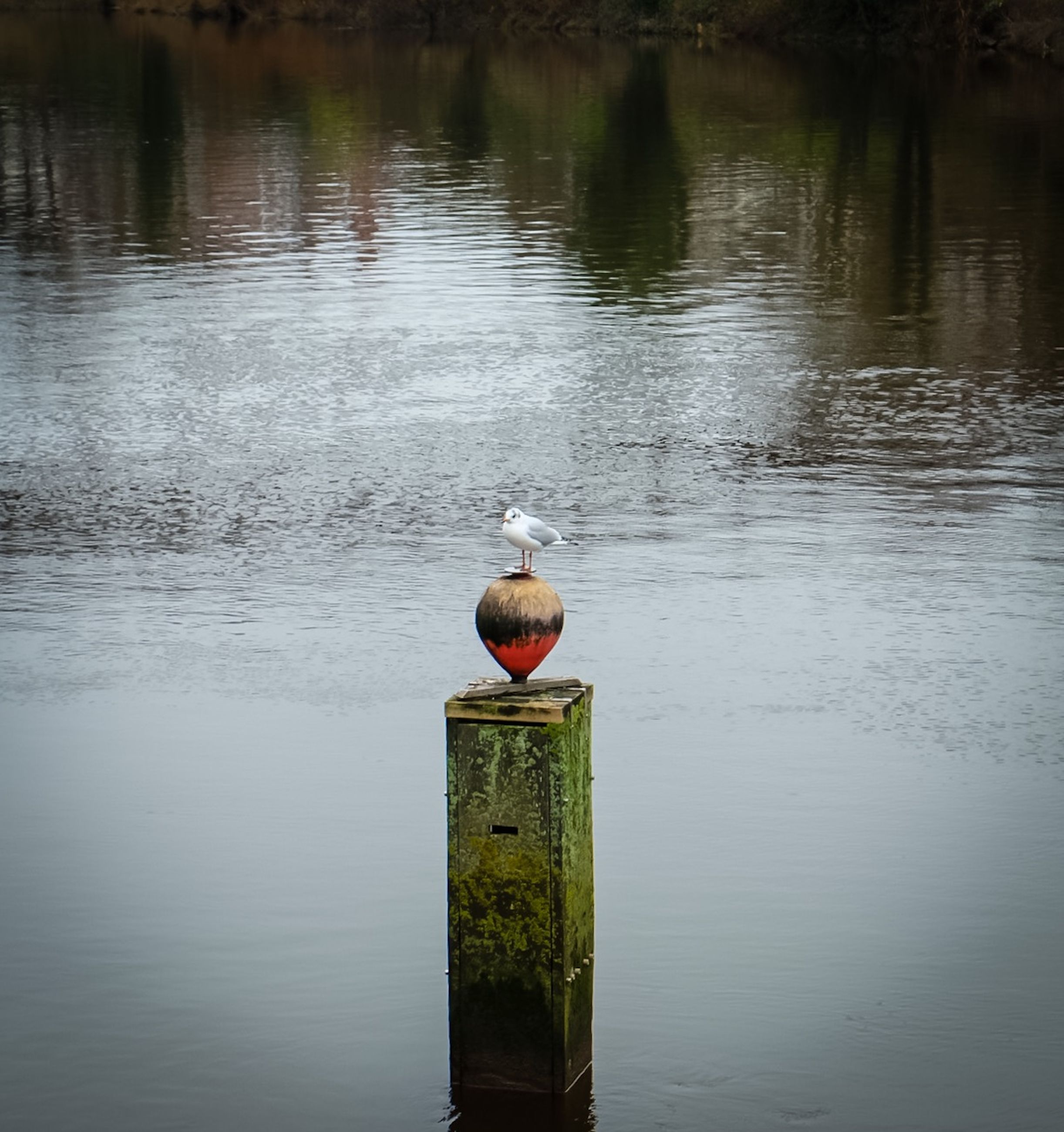 water, bird, lake, animal themes, animals in the wild, wildlife, one animal, reflection, wood - material, waterfront, rippled, wooden post, nature, tranquility, perching, outdoors, buoy, river, pier, no people