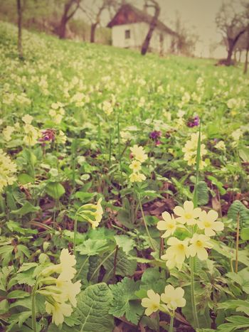 Spring Primula Flower Growth Plant Nature Green Color Leaf No People Beauty In Nature Outdoors Day Grass Freshness Fragility Close-up Flower Head