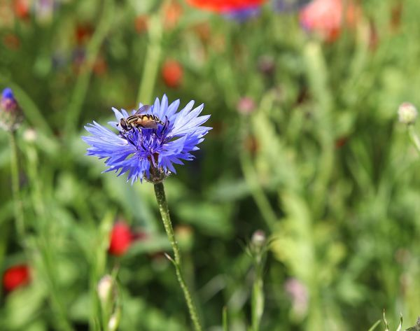 Cyanus Backgrounds Beautiful Flowering Plant Flower Plant Insect Animal Themes Beauty In Nature Invertebrate Fragility Animal Wildlife Vulnerability  Animal Petal Freshness Animals In The Wild One Animal Flower Head Growth Close-up Focus On Foreground Inflorescence