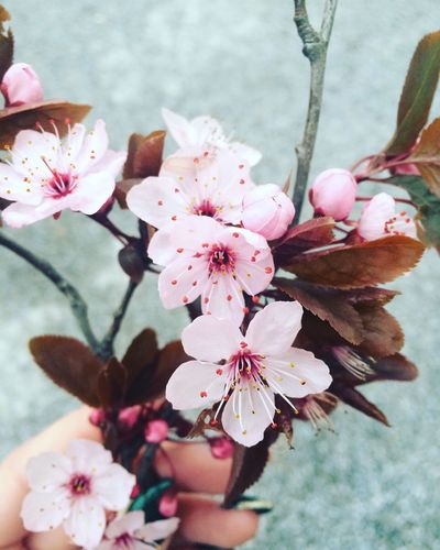 Cherry Blossoms Flowers Pink Flower Printemps Fleurs Love Lovethistimeofyear Jesuis... First Eyeem Photo