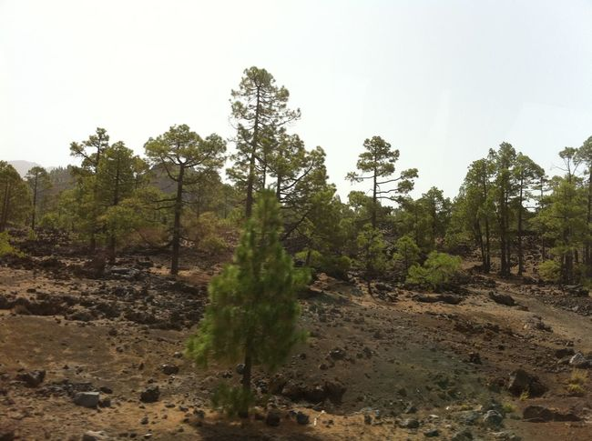 Arid Climate Beauty In Nature Canary Islands Clear Sky Day Forest Grass Growth Landscape Narrow Nature Non-urban Scene Outdoors Remote Scenics Teide National Park Tenerife Tranquil Scene Tranquility Tree Tropical Climate