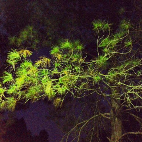 Pinheirinho... Frio Arvore Verde Noite Pinheiro