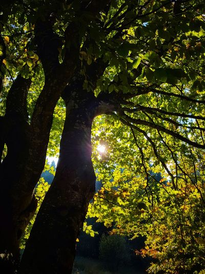 Tree Nature Outdoors Shadow Day Beauty In Nature Leaf Forest Growth Scenics Fagus Sylvatica Autumn Colors Autumn Leaves Illuminated Branch Tranquility Growth Silhouette Sun Sunlight Sunbeam