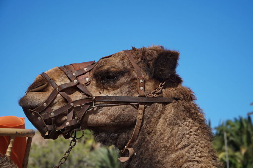 Camel 2 Fuerteventura Animal Themes Blue Bridle Brown Camel Clear Sky Close-up Day Domestic Animals Horse Livestock Low Angle View Mammal Nature No People One Animal Outdoors Sky