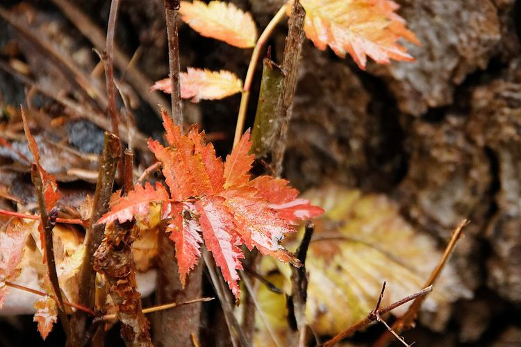 Autumn Beauty In Nature Change Close-up Day Field Focus On Foreground Fragility Growth Leaf Leaves Maple Leaf Nature No People Orange Color Outdoors Plant Plant Part Selective Focus Vulnerability