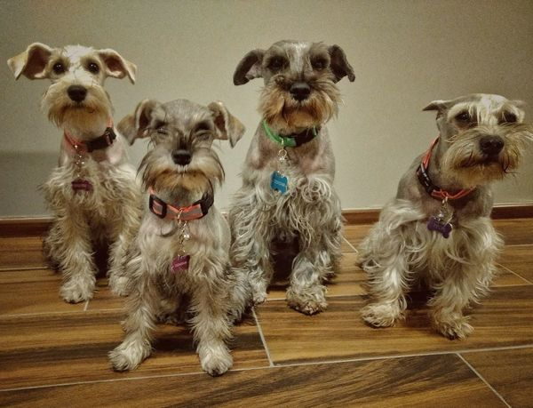 Pet Portraits Dogs Family Domestic Animals Animal Themes Schnauzers Puppy Pets Dogs Life